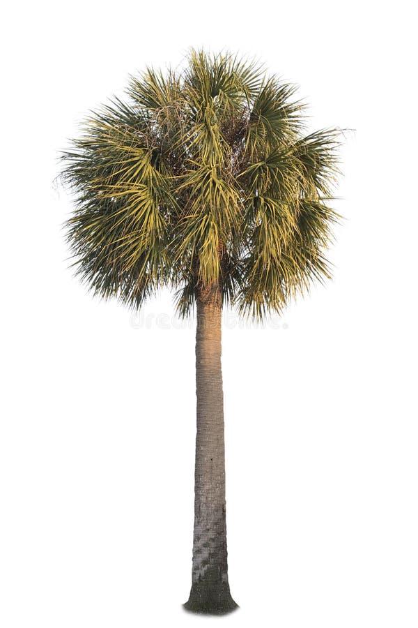 Kalifornia fan drzewko palmowe obrazy royalty free