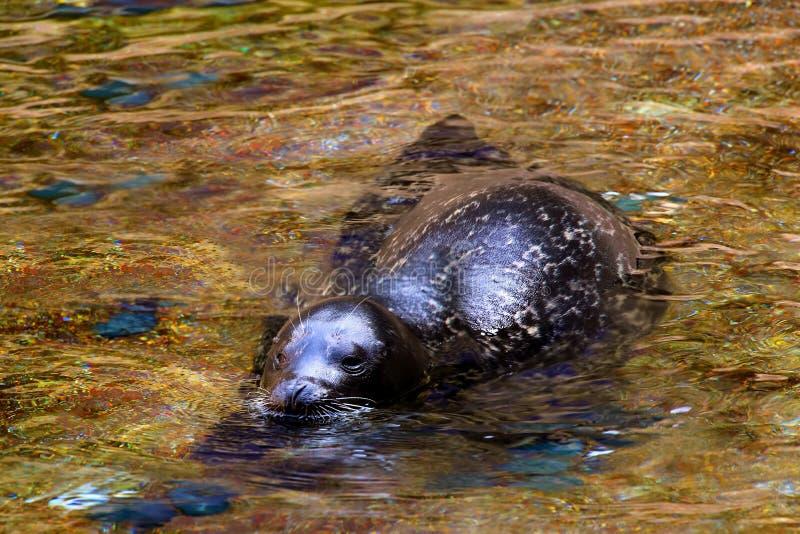 Kalifornia foka lub denny lew obrazy stock