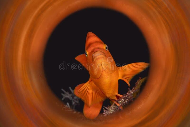 Kalifornia garibaldi ryba zdjęcie stock