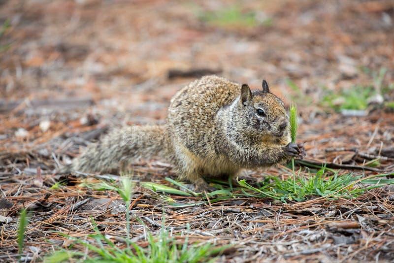 Kalifornia Gruntuje wiewiórki, Otospermophilus beecheyi fotografia royalty free