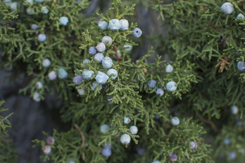 Kalifornia jałowcowe jagody na drzewie zdjęcia stock