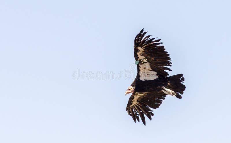 Kalifornia kondor fotografia stock