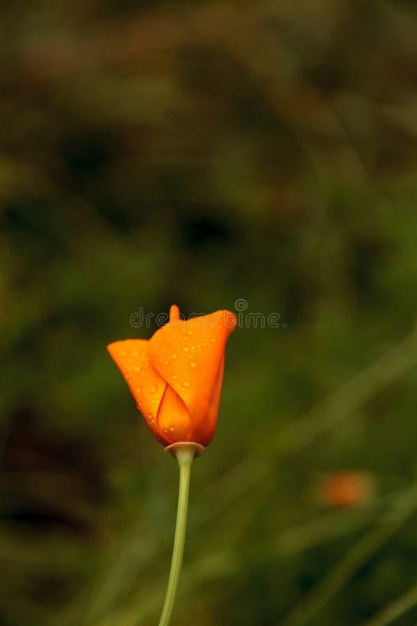 Kalifornia maczka kwiatu Eschscholzia californica obrazy stock