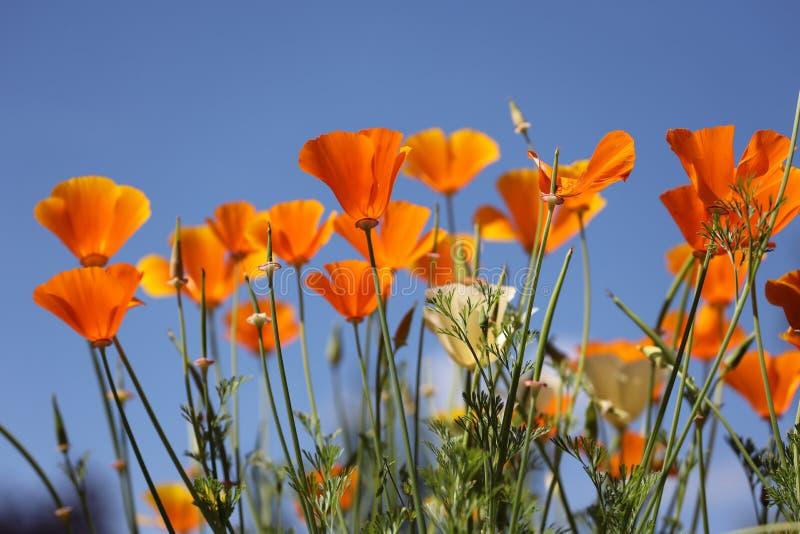 Kalifornia maczka okwitnięcie przeciw niebu zdjęcie stock
