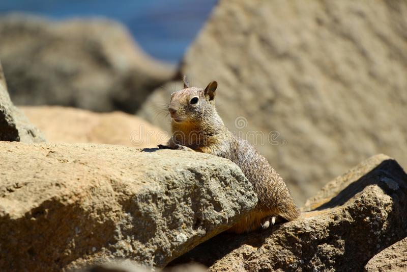 Kalifornia Otospermophilus zmielony wiewiórczy beecheyi fotografia stock