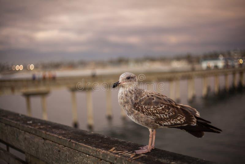 Kalifornia Seagull w San Diego na plaży fotografia royalty free