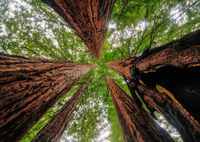 Kalifornia sekwoi drzewa zdjęcie royalty free