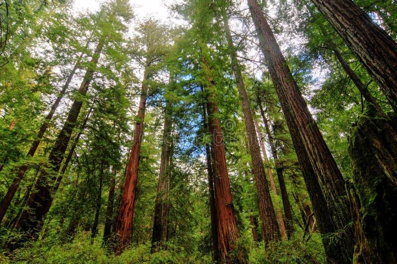 Kalifornia sekwoi drzewa fotografia stock