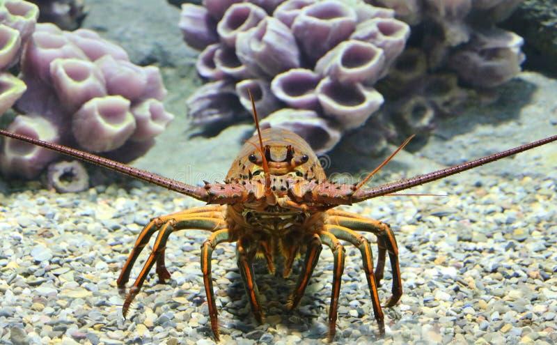 Kalifornia Spiny homar zdjęcie stock