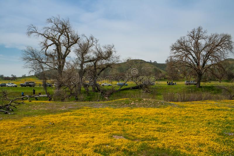 Kalifornia Super kwiat 2019 Pole piękny dziki kolor żółty kwitnie w Carrizo równinie obraz royalty free