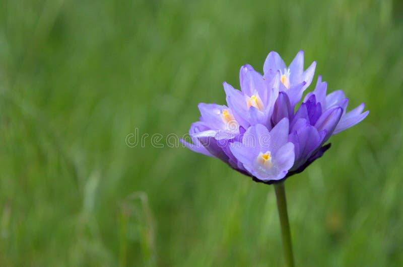 Kalifornia Wildflower fotografia royalty free