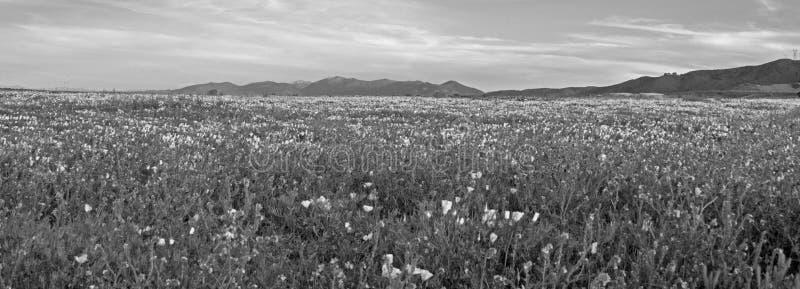 KALIFORNIA ZŁOCI maczki W wysokości pustyni polu MIĘDZY PALMDALE I KWARCOWYM wzgórzem W POŁUDNIOWEGO KALIFORNIA usa - CZARNY I BI obraz stock