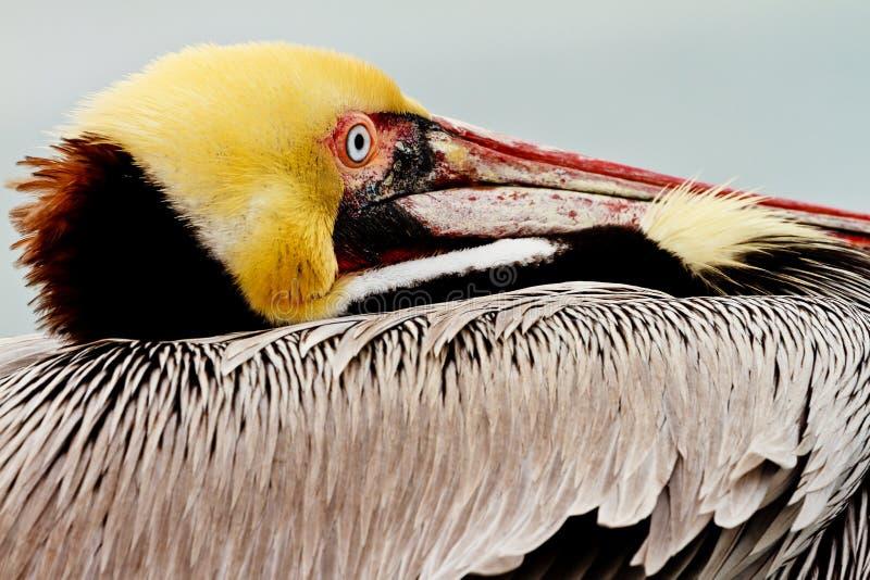 Kalifornien-brauner Pelikan stockfotografie