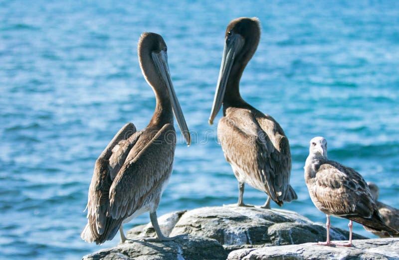 Kalifornien bryner pelikan och seagullen som sätta sig på stenig utlöpare på den Cerritos stranden på Punta Lobos i Baja Californ arkivfoto