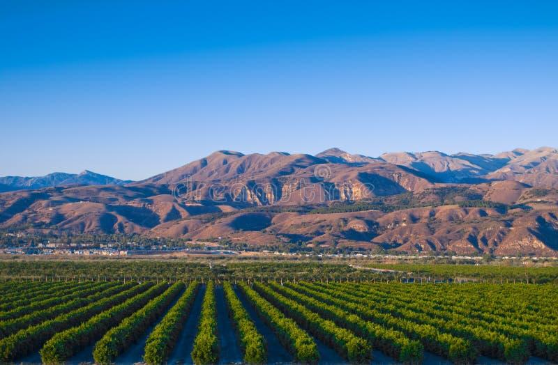 Kalifornien citrusdungar royaltyfria foton