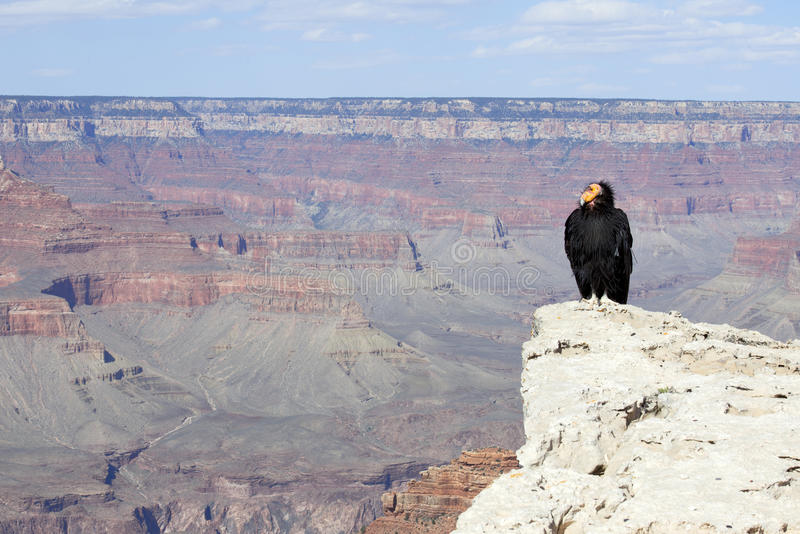 Kalifornien Condor på grand Canyonnationalparken royaltyfria bilder