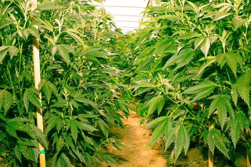 Kalifornien, das medizinisches Marihuana träumt lizenzfreies stockfoto