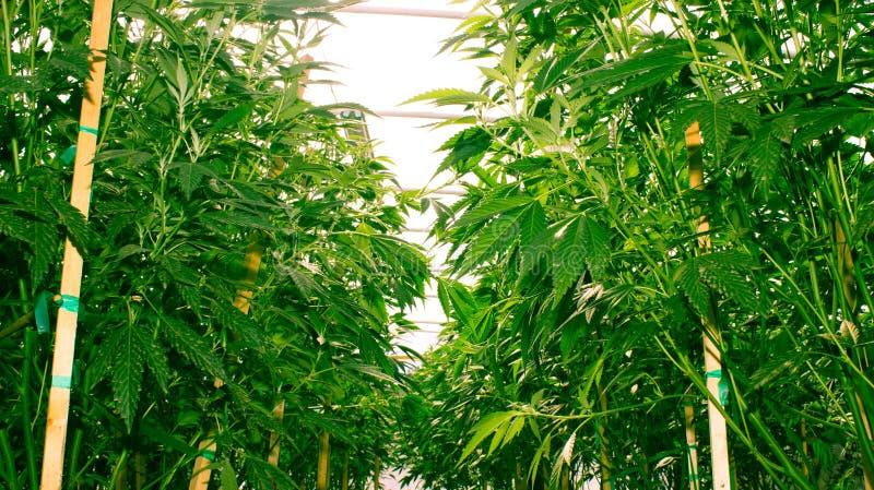 Kalifornien, das medizinisches Marihuana träumt lizenzfreies stockbild