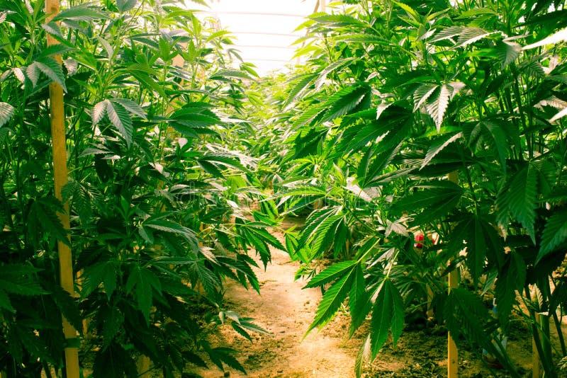 Kalifornien, das medizinisches Marihuana träumt stockbild