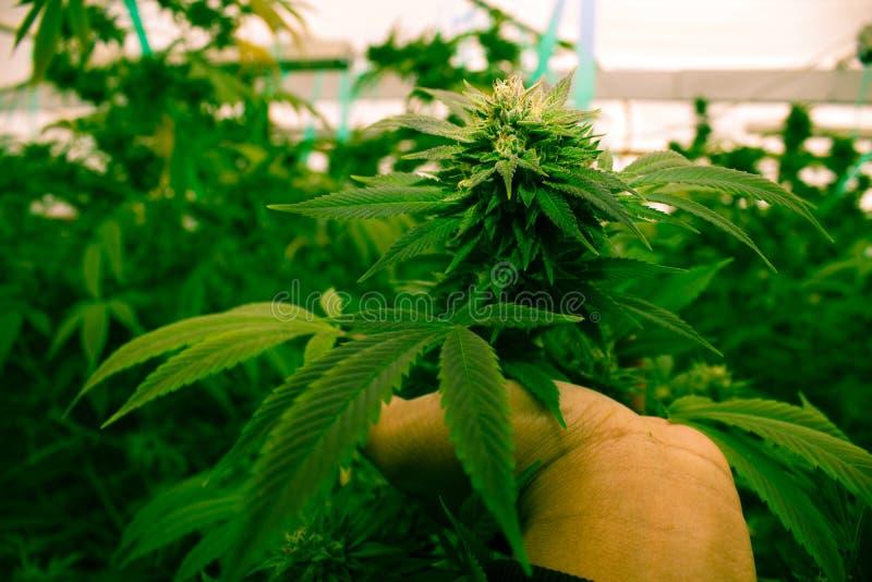 Kalifornien, das medizinisches Marihuana träumt lizenzfreie stockfotos