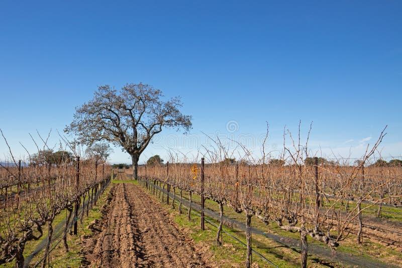 Kalifornien ek i vinter i den centrala Kalifornien vingården nära Santa Barbara California USA royaltyfria foton