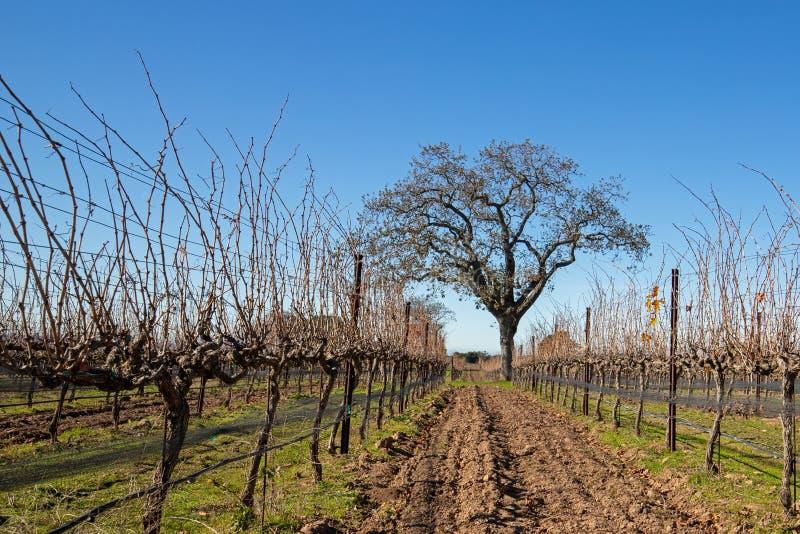 Kalifornien ek i vinter i den Kalifornien vingården nära Santa Barbara California USA royaltyfria bilder