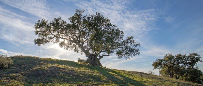 Kalifornien ek som är bakbelyst vid solstrålar i vingård i Santa Rita Hills i Kalifornien USA royaltyfri bild