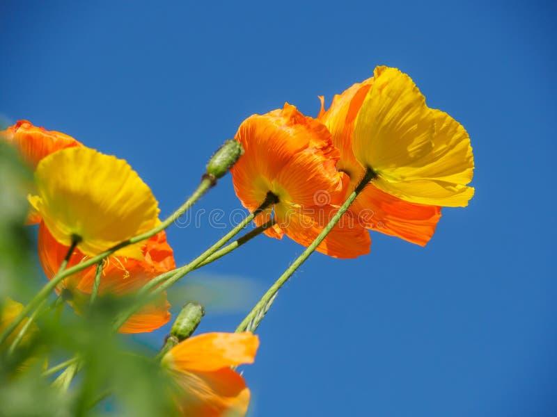 Kalifornien Golding vallmo som blommar i vår med blå himmel arkivfoto