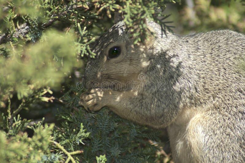 Kalifornien Gray Squirrel, der auf einer Niederlassung in der immergrünen Kiefer isst lizenzfreie stockfotos