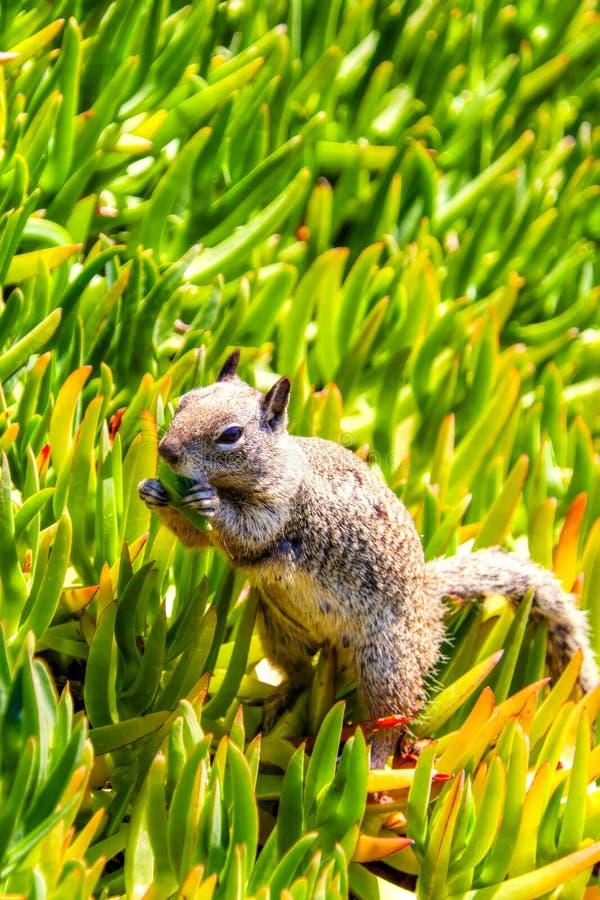 Kalifornien jordekorre som matar på La Jolla, San Diego arkivfoto