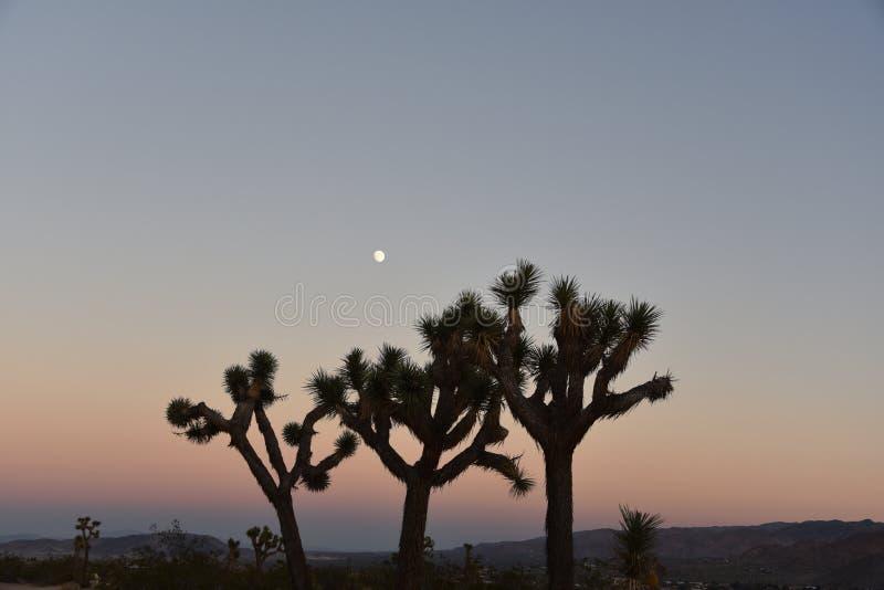 Kalifornien Joshua Tree Cactus am Sonnenuntergang-und Mond-Aufstieg stockbilder