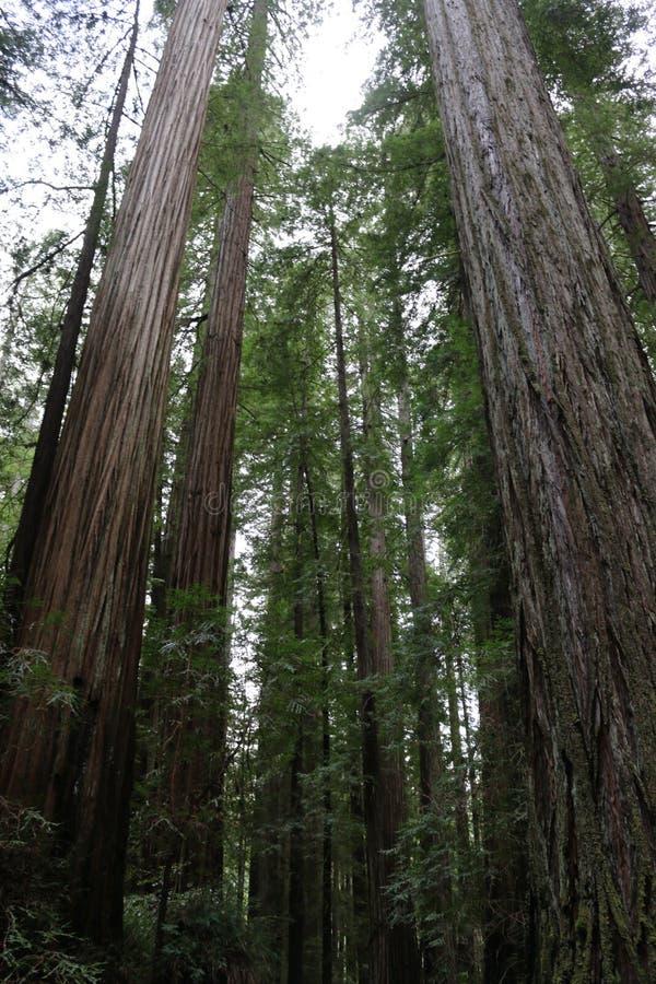Kalifornien-Küsten-Rotholz stockfotos