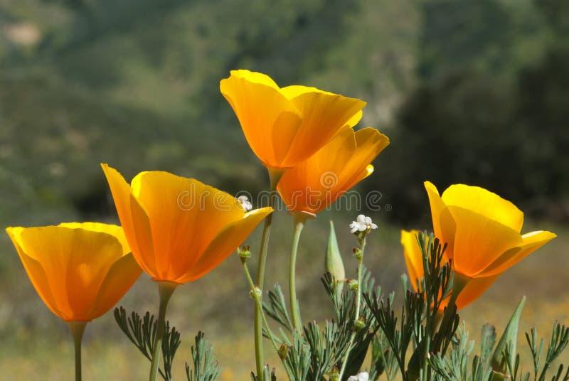 Kalifornien-Mohnblume lizenzfreie stockfotos