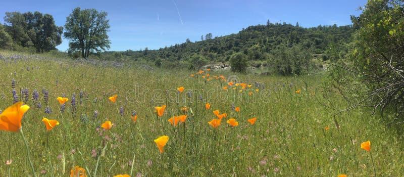 Kalifornien-Mohnblume lizenzfreies stockfoto