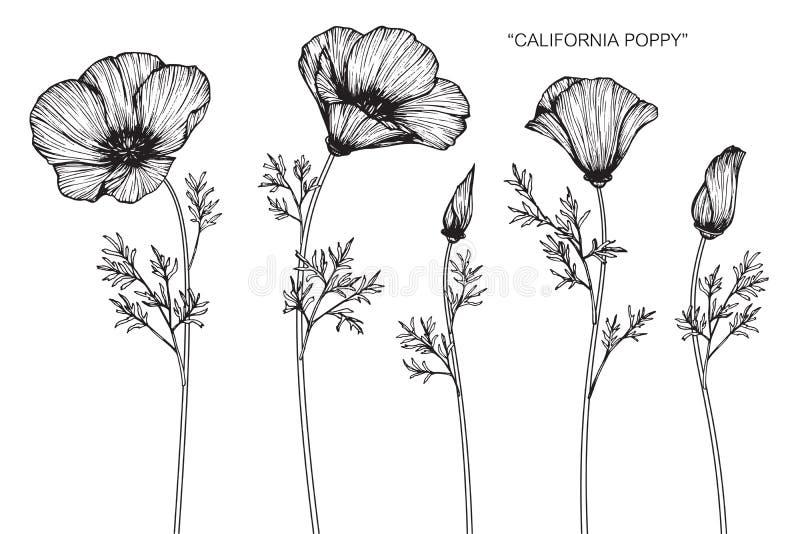 Kalifornien Mohnblume Bluht Zeichnung Und Skizze Vektor Abbildung Illustration Von Hand Zeile 101720141
