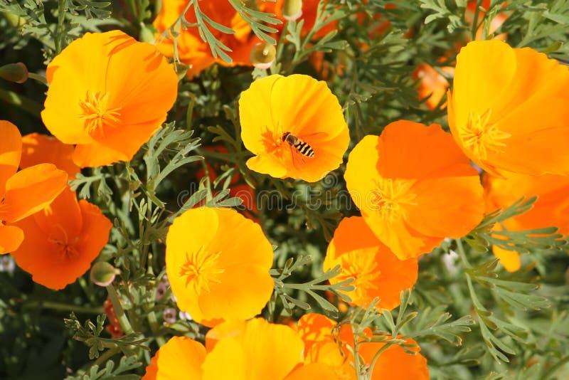 Kalifornien Mohnblume oder Eschscholzia-californica Blumen stockbild