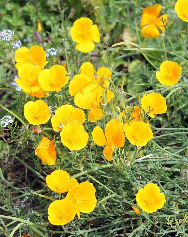 Kalifornien Mohnblume oder Eschscholzia-californica Gelbblumen stockfotografie