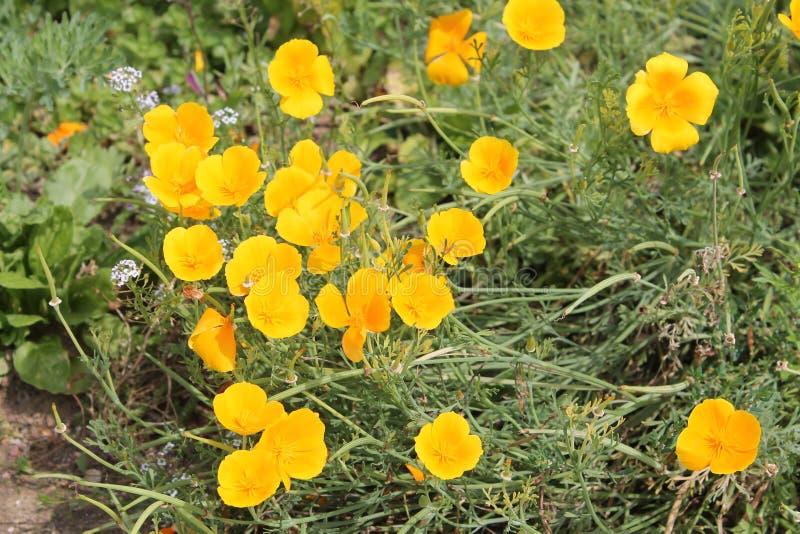Kalifornien Mohnblume oder Eschscholzia-californica Gelbblumen lizenzfreies stockfoto