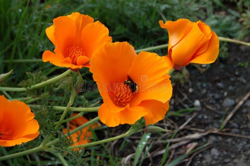 Kalifornien-Mohnblumen stockbilder