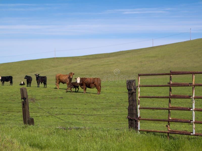 Kalifornien nötkreatur på den Folsom ranchen arkivfoton