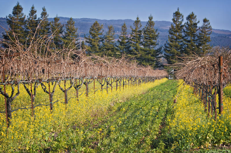 Kalifornien Napa Valley vingård arkivfoto
