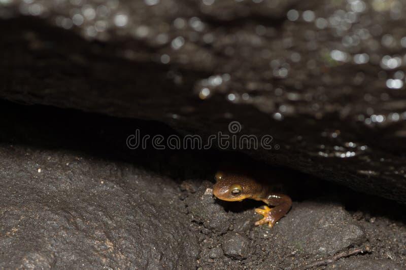 Kalifornien-Newt Taricha torosa, das heraus von unterhalb des Felsens späht lizenzfreies stockfoto