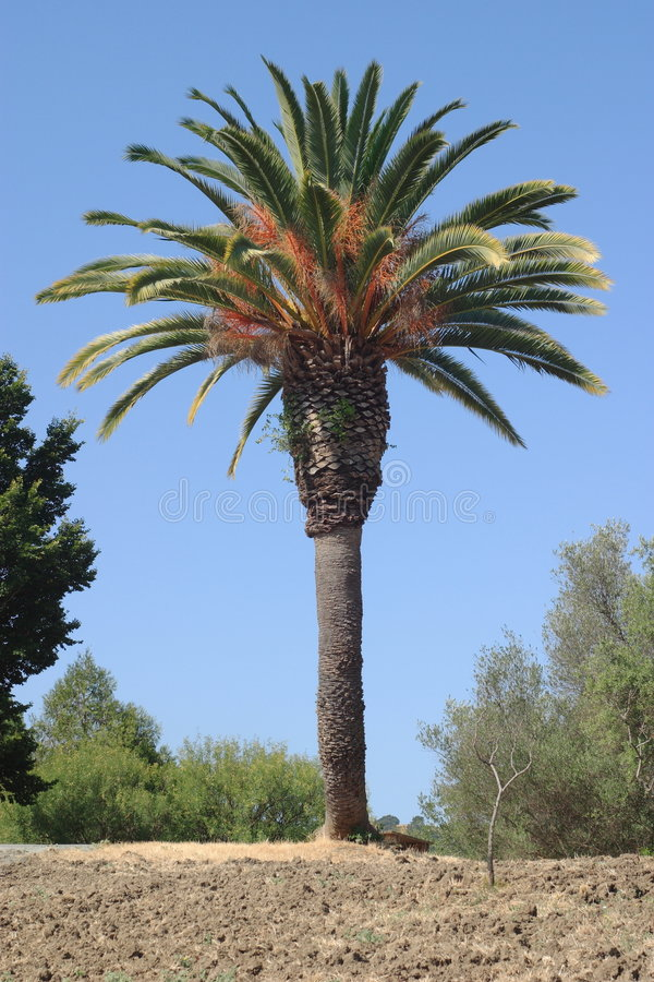 Kalifornien-Palme lizenzfreie stockfotografie