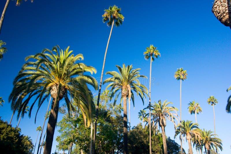 Kalifornien palmträd royaltyfri bild