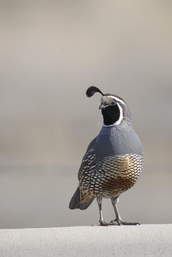 Kalifornien quail royaltyfria foton