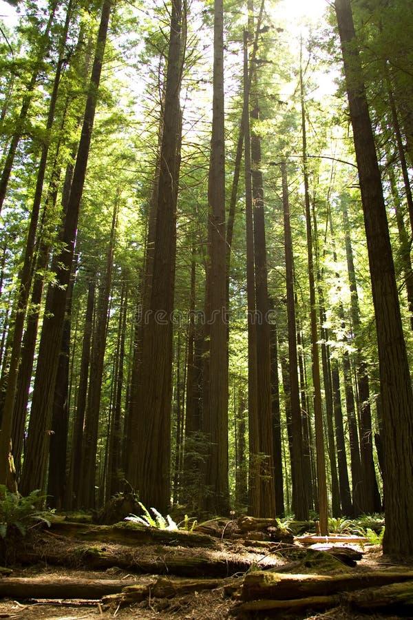 Kalifornien redwoodträd royaltyfria bilder