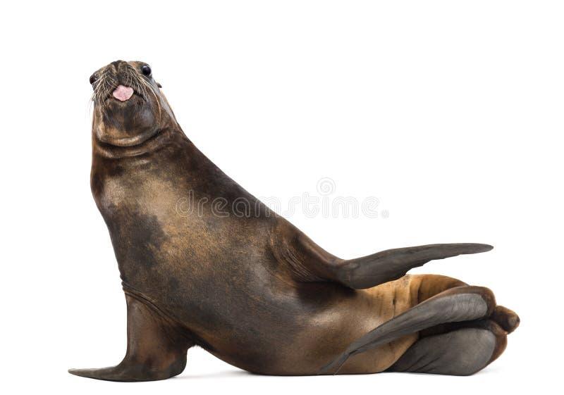 Kalifornien-Seelöwe, 17 Jahre alt, heraus liegend und haften seine Zunge stockbild