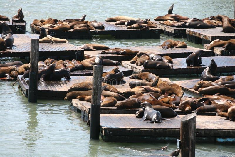 Kalifornien sjölejon på pir 39 San Francisco fotografering för bildbyråer