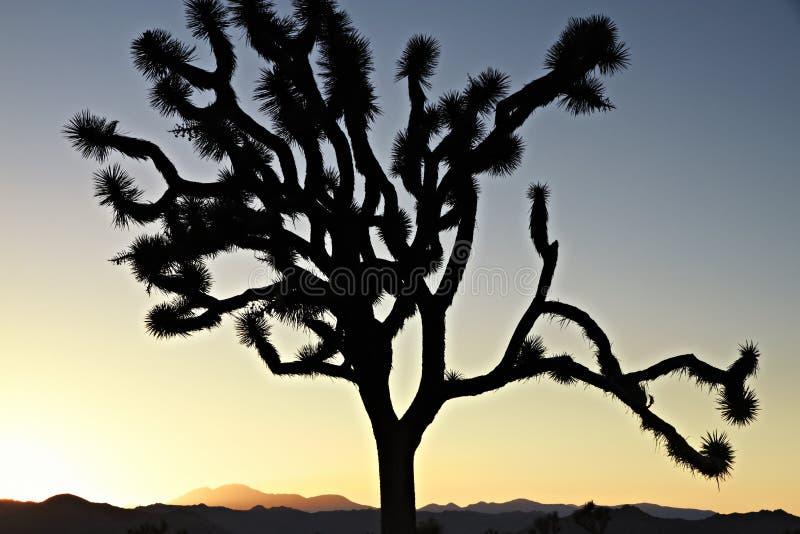 Kalifornien solnedgång med det konturJoshua trädet royaltyfri fotografi