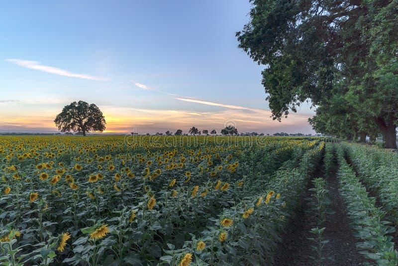 Kalifornien solrosfält med det ensamma trädet och solnedgång arkivfoto
